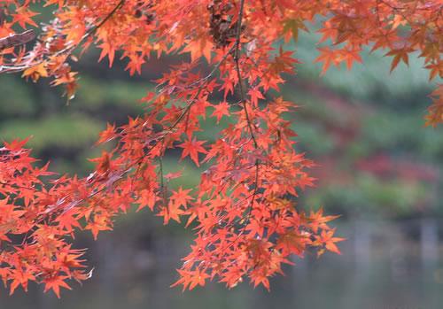 """所谓的""""观赏红叶""""是指去探寻枫树吗? 不是,并不仅仅只是枫树而已."""