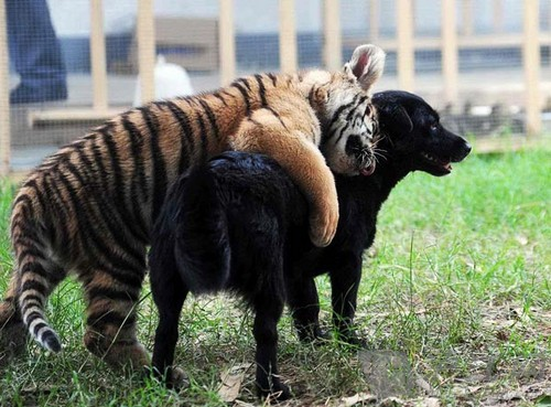 在山东西霞口野生动物园,两只小彪(雄狮和雌虎交配生出来的宝宝,也叫