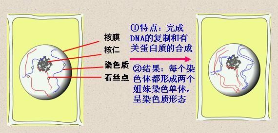二,植物细胞有丝分裂各期的主要特点:    1,分裂间期    问题