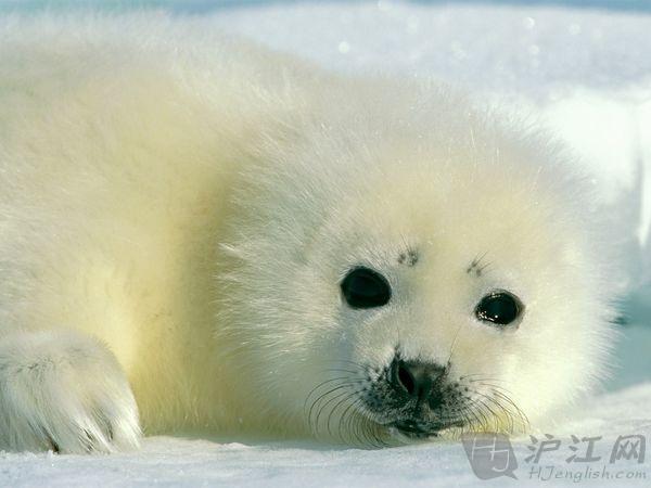baby harp seal 海豹宝宝